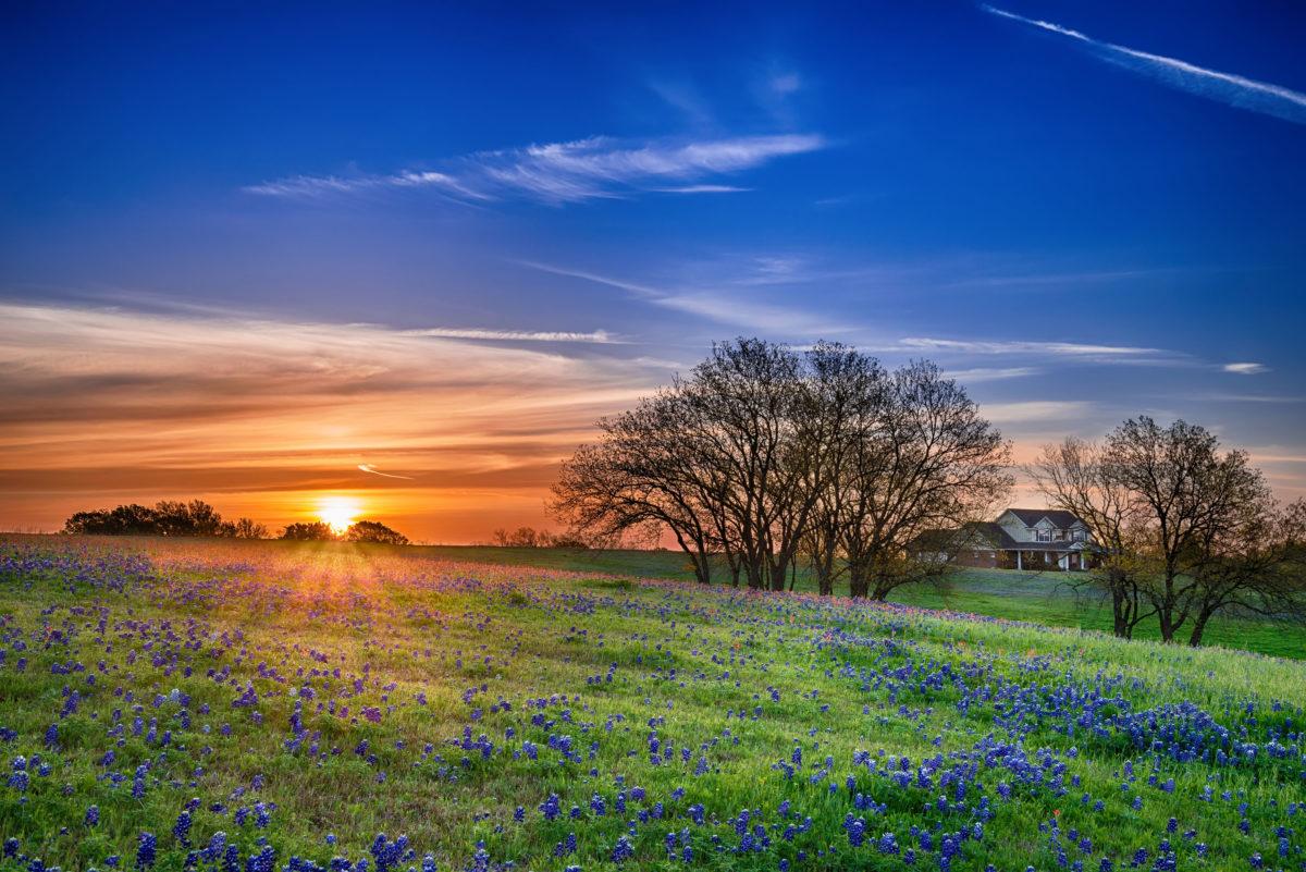 Bluebonnets in a field